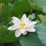 300px White lotus zizhuyuan 150x150 Martial Arts   Freedom From Fear