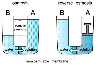 osmosis with sultanas in sucrose solution Osmosis rates in artificial  contained only water whereas the beaker it was immersed in was a solution of 40% sucrose the solution is a hypertonic solution.